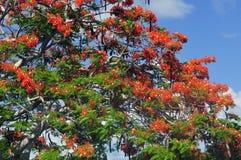 Royal Poinciana Tree Royalty Free Stock Photo
