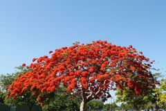 Royal poinciana tree Stock Images