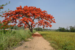 Royal Poinciana Tree. Stock Photos