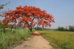 Royal Poinciana Tree. Royal Poinciana Tree and path way Stock Photos