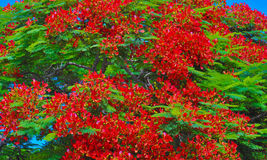 Royal poinciana tree in red flower Stock Photos