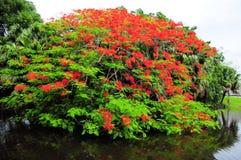 Royal Poinciana Tree small island Royalty Free Stock Photos