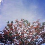 Royal poinciana tree Stock Images