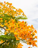 Royal poinciana Stock Photo