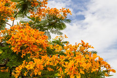 Royal poinciana Stock Photography