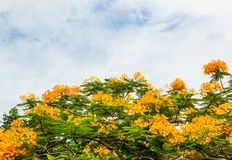 Royal poinciana Royalty Free Stock Images