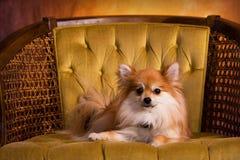 Royal Pomeranian. Beautiful Pomeranian puppy laying on a gold, velevet chair stock photo