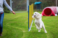 Royal poodle at an agility course Royalty Free Stock Photo