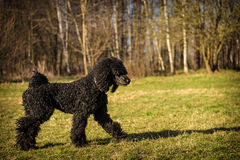 Royal poodle dog Stock Photos