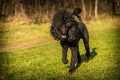 Royal poodle dog Royalty Free Stock Image