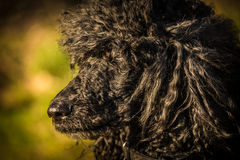 Royal poodle dog Stock Photography