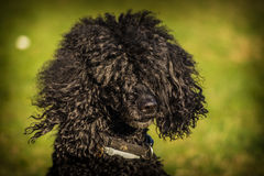 Royal poodle dog Royalty Free Stock Photo