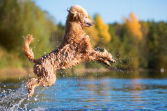 Royal poodle is jumping in the water royalty free stock images