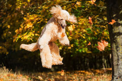 Royal poodle jumps for leaves royalty free stock images