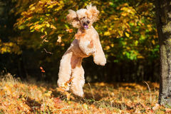Royal poodle jumps for leaves stock photo