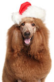 Royal poodle in Santa Christmas hat Royalty Free Stock Photo