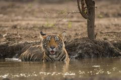 A royal pose by a mal tiger cub at Ranthambore National Park. A royal pose by a mal tiger cub in a pond at Ranthambore National Park, India royalty free stock photo