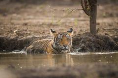A royal pose by a mal tiger cub at Ranthambore National Park. A royal pose by a mal tiger cub in a pond at Ranthambore National Park, India royalty free stock images