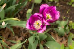 Royal Purple Double tulips for easter mean it is spring royalty free stock images