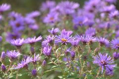 Royal purple echoes of autumn Stock Photos
