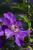 Royal Purple Jackmanii Clematis Vine Royalty Free Stock Photos