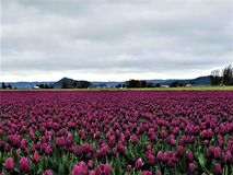A Sea of Royal Purple Tulips stock image