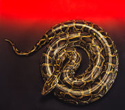 Royal python Royalty Free Stock Image