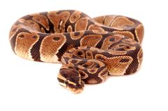 Royal Python. An image of a royal python, a domestic pet.(Python Regius Royalty Free Stock Photos