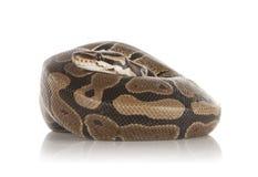 Royal Python Stock Image