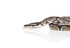 Royal Python Stock Photos