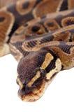 Royal Python. An image of a royal python with focus on the head Stock Image
