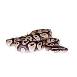 Royal Python, or Ball Python on white Royalty Free Stock Photography