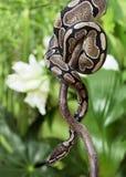 Royal Python creeping on branch Stock Photography