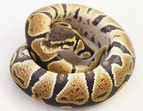 Royal Python Stock Photos
