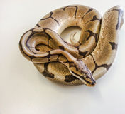 Royal Python portrait. Spider morph royal python Stock Photography