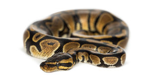 Royal python, Python regius, isolated Royalty Free Stock Photo