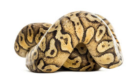 Royal python, python regius, rolled Stock Photo