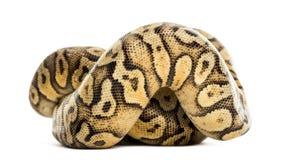 Royal python, python regius, rolled Stock Photo