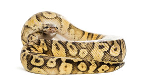 Royal python, python regius, rolled Royalty Free Stock Image