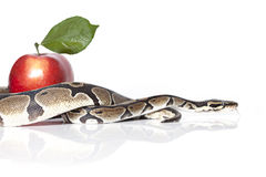 Royal Python with red apple Stock Images
