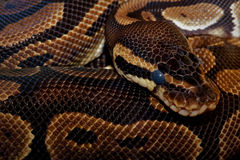 Royal Python Scales Royalty Free Stock Photography