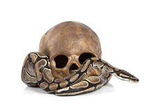 Royal Python with skull Royalty Free Stock Images