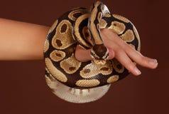 Royal python snake Stock Images