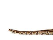 Royal Python snake Royalty Free Stock Photography