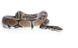 Royal Python snake Royalty Free Stock Photo