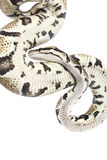 Royal Python snake Stock Image