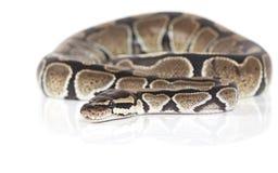 Royal Python snake in studio Royalty Free Stock Photo