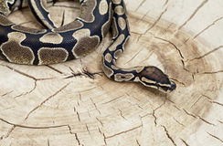 Royal Python snake on a stump Stock Images