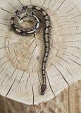 Royal Python snake on a stump Stock Photography
