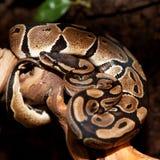 Royal python in terrarium Royalty Free Stock Image